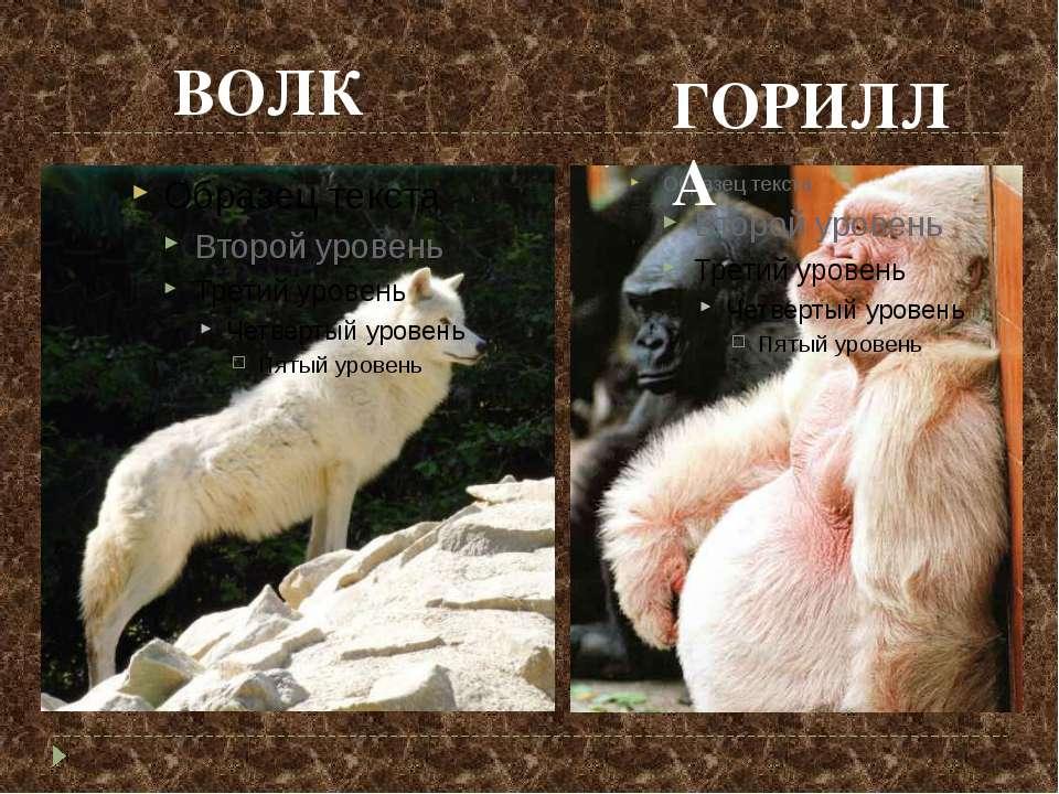 ВОЛК ГОРИЛЛА