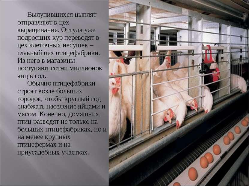 Вылупившихся цыплят отправляют в цех выращивания. Оттуда уже подросших кур пе...