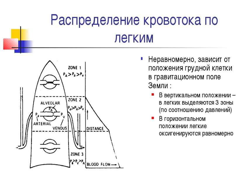 Распределение кровотока по легким Неравномерно, зависит от положения грудной ...