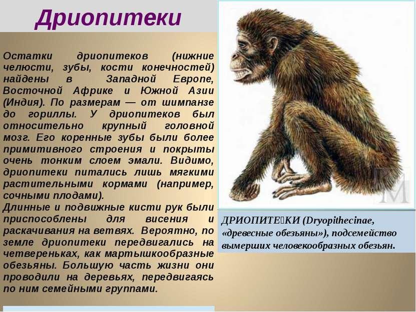 Дриопитеки ДРИОПИТЕ КИ (Dryopithecinae, «древесные обезьяны»), подсемейство в...