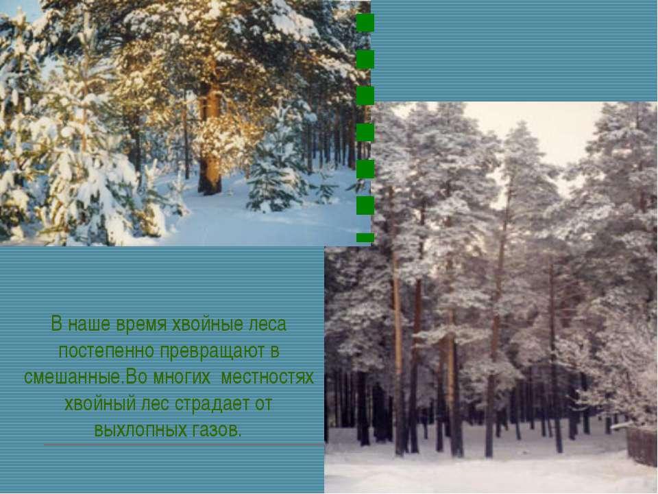 В наше время хвойные леса постепенно превращают в смешанные.Во многих местнос...