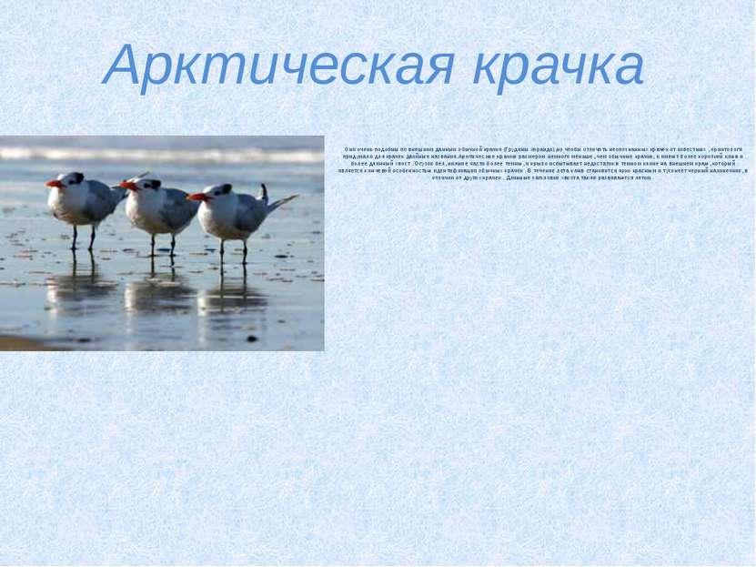Арктическая крачка Они очень подобны по внешним данным обычной крачке (Грудин...