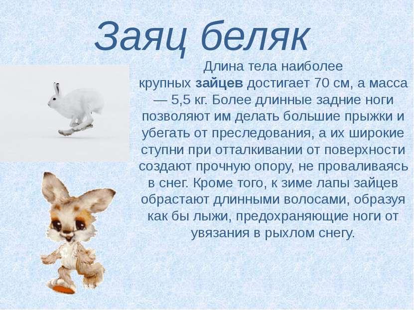 Заяц беляк Длина тела наиболее крупныхзайцевдостигает 70 см, а масса — 5,5 ...
