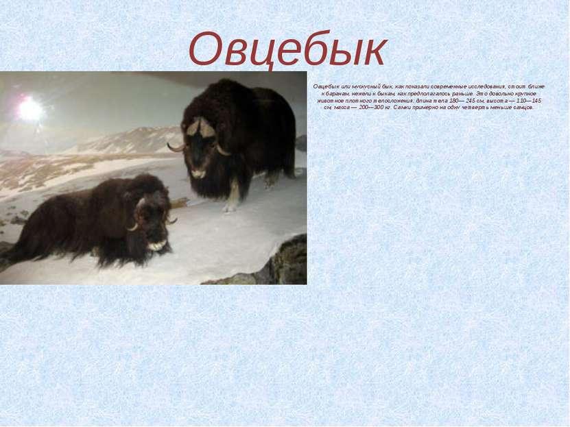 Овцебык Овцебыкили мускусный бык, как показали современные исследования, сто...
