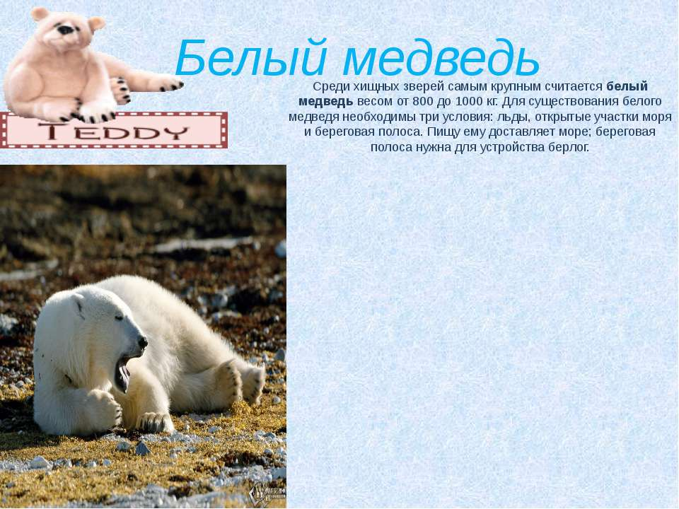 Белый медведь Среди хищных зверей самым крупным считаетсябелый медведьвесом...
