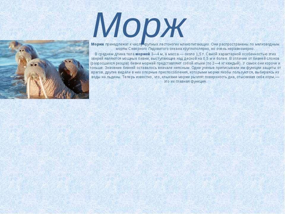 Морж Моржипринадлежат к числу крупных ластоногих млекопитающих. Они распрост...