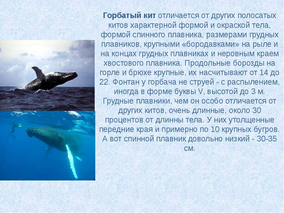 Горбатый китотличается от других полосатых китов характерной формой и окраск...