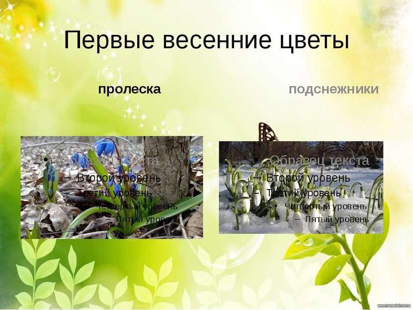 Первые весенние цветы пролеска подснежники
