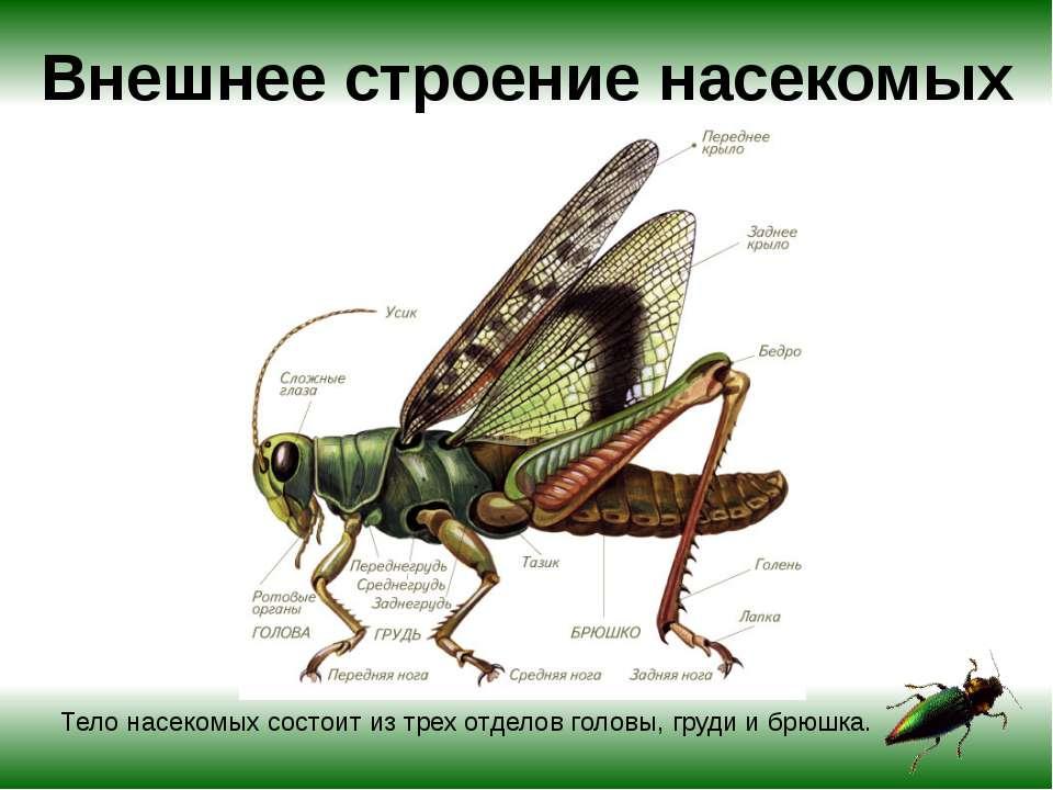Внешнее строение насекомых Тело насекомых состоит из трех отделов головы, гру...