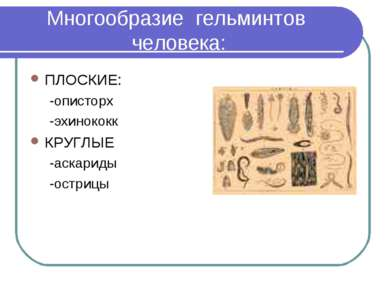 Многообразие гельминтов человека: ПЛОСКИЕ: -описторх -эхинококк КРУГЛЫЕ -аска...