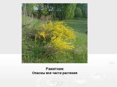Ракитник Опасны все части растения