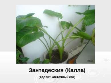 Зантедеския (Калла) (ядовит клеточный сок)