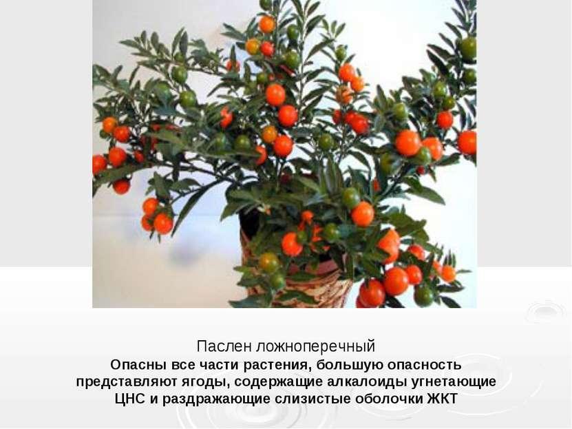 Паслен ложноперечный Опасны все части растения, большую опасность представляю...