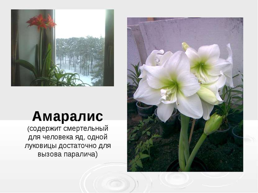 Амаралис (содержит смертельный для человека яд, одной луковицы достаточно для...