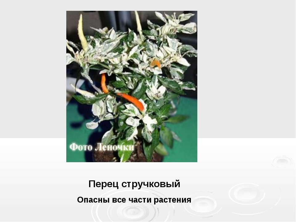 Перец стручковый Опасны все части растения