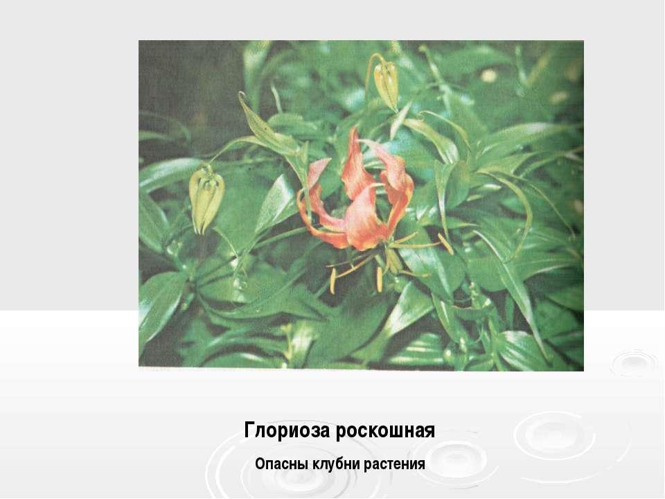 Глориоза роскошная Опасны клубни растения