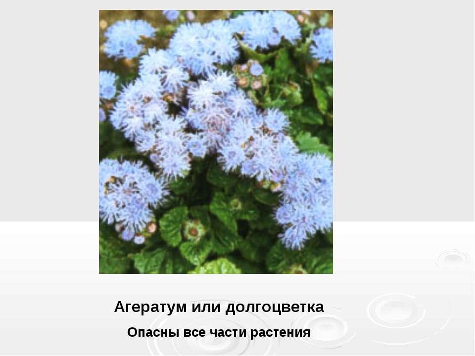 Агератум или долгоцветка Опасны все части растения