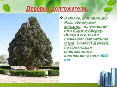 Деревья долгожители. В Иране, в провинции Язд, обнаружен кипарис, получивший ...