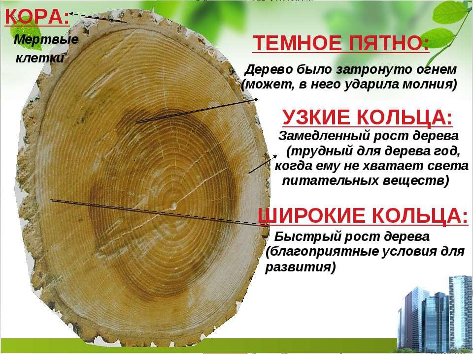 КОРА: Мертвые клетки ТЕМНОЕ ПЯТНО: Дерево было затронуто огнем (может, в него...