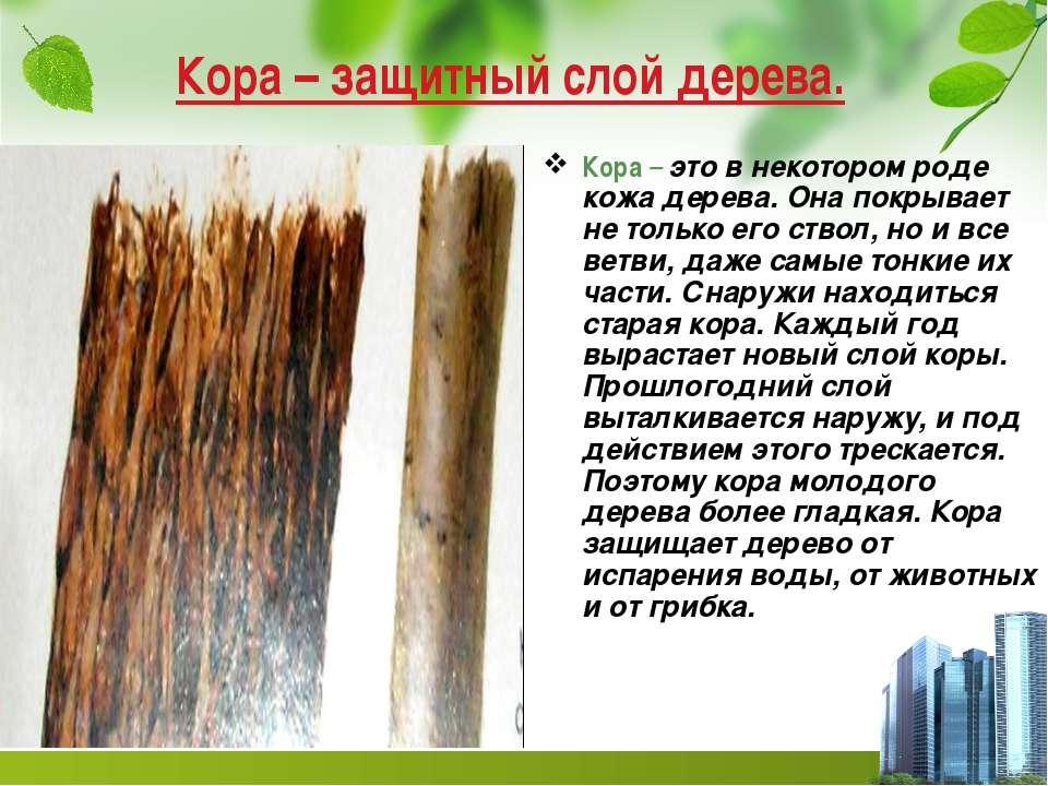 Кора – защитный слой дерева. Кора – это в некотором роде кожа дерева. Она пок...