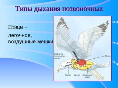 Типы дыхания позвоночных Птицы – легочное, воздушные мешки