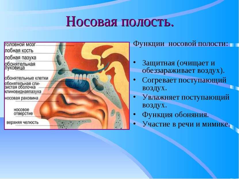 Носовая полость. Функции носовой полости: Защитная (очищает и обеззараживает ...