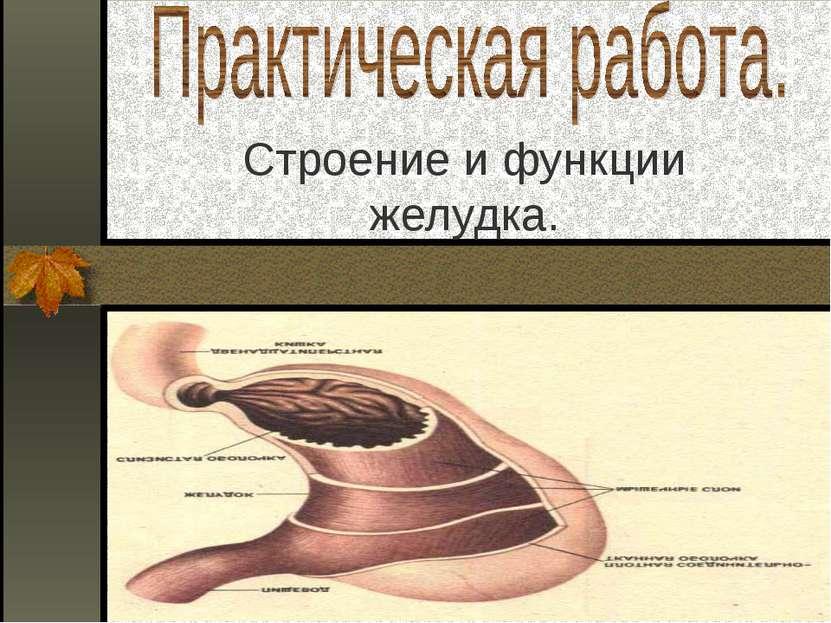 Строение и функции желудка.