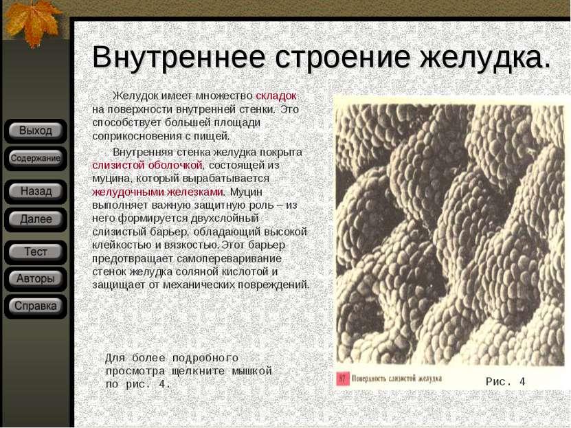 Внутреннее строение желудка. Желудок имеет множество складок на поверхности в...