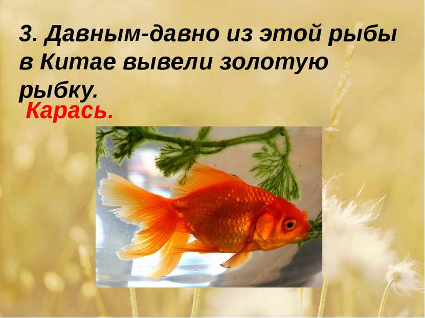 3. Давным-давно из этой рыбы в Китае вывели золотую рыбку. Карась.