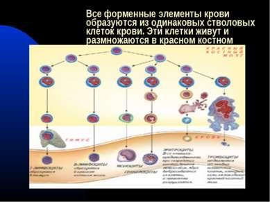Все форменные элементы крови образуются из одинаковыхстволовых клеток крови....