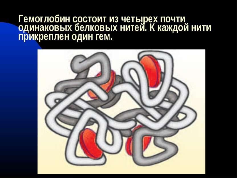 Гемоглобин состоит из четырех почти одинаковых белковых нитей. К каждой нити ...
