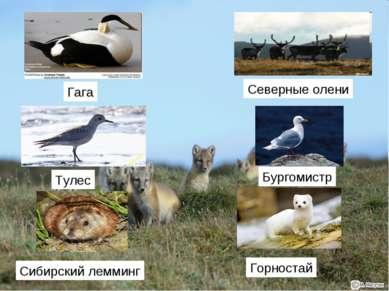 Гага Тулес Северные олени Бургомистр Сибирский лемминг Горностай