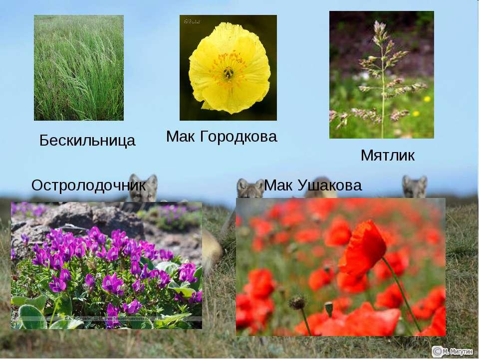 Бескильница Мак Городкова Остролодочник Мятлик Мак Ушакова
