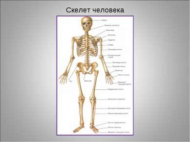 Скелет человека