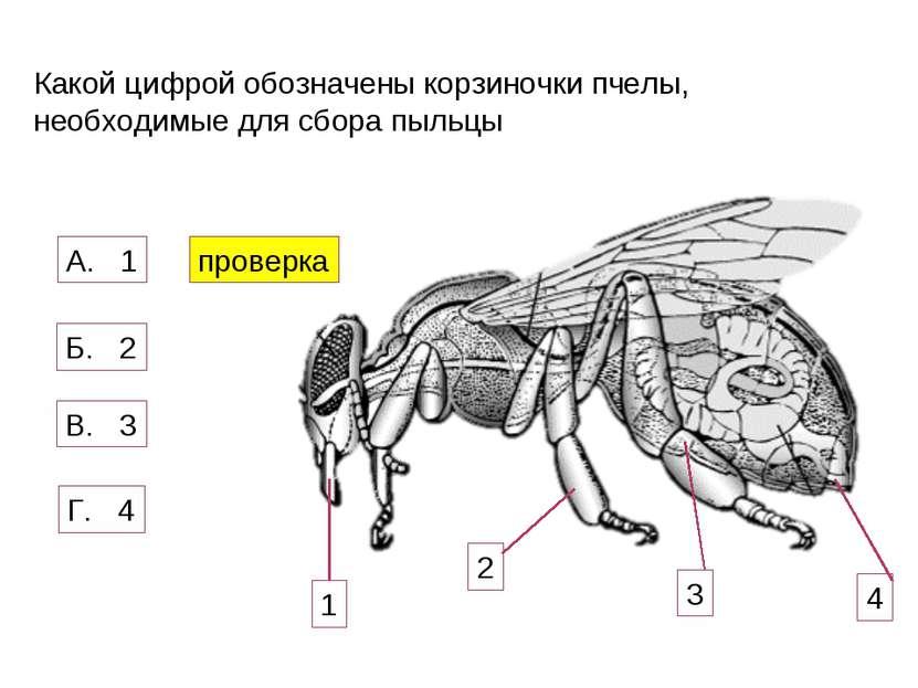 Какой цифрой обозначены корзиночки пчелы, необходимые для сбора пыльцы 1 2 3 ...