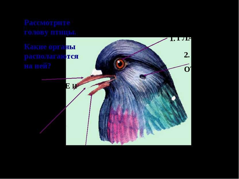 Рассмотрите голову птицы. Какие органы располагаются на ней? 1. 2. 3. 5. 4. Г...