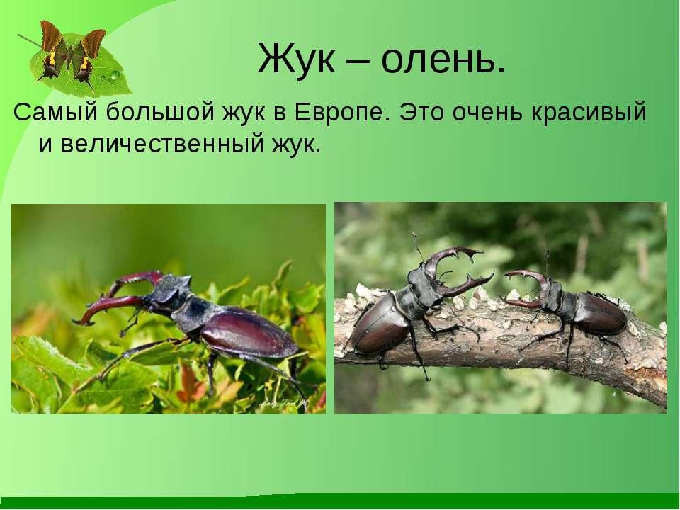 Жук – олень. Самый большой жук в Европе. Это очень красивый и величественный ...