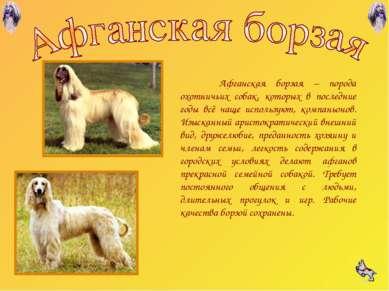 Афганская борзая – порода охотничьих собак, которых в последние годы всё чаще...