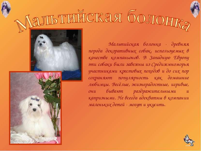 Мальтийская болонка - древняя порода декоративных собак, используемых в качес...