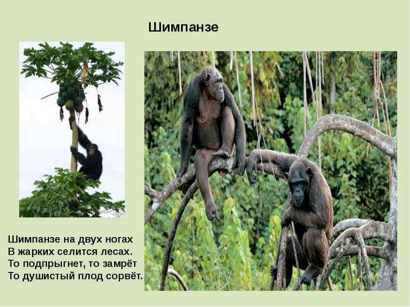 Шимпанзе Шимпанзе на двух ногах В жарких селится лесах. То подпрыгнет, то зам...