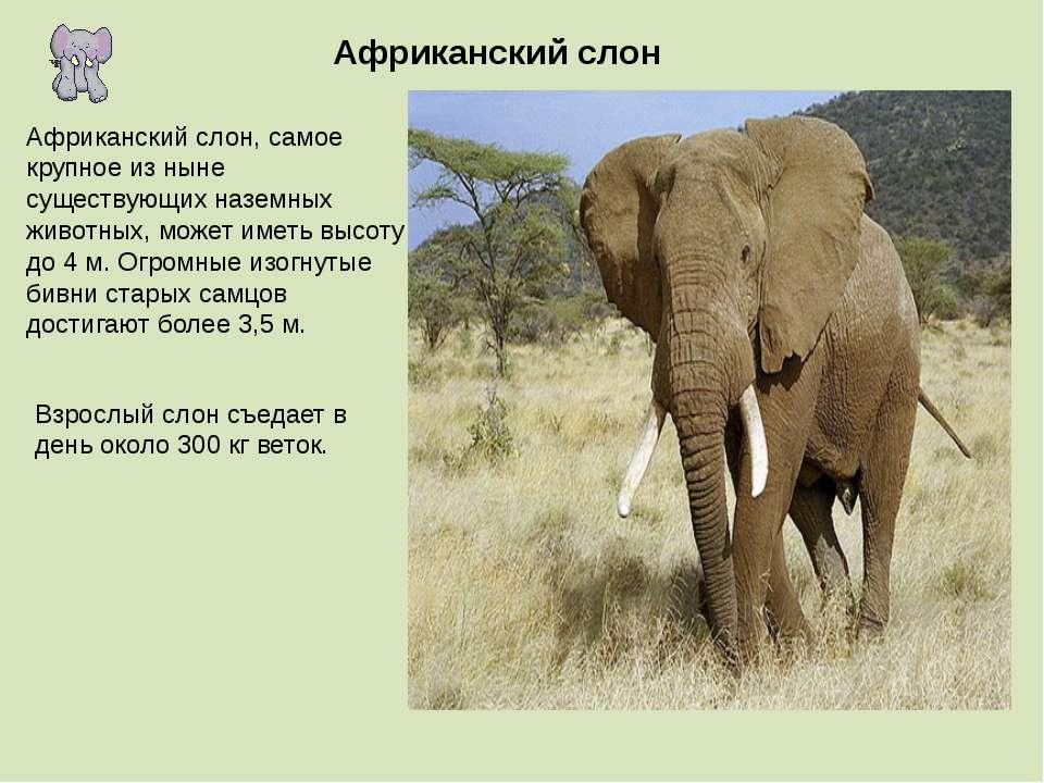 Африканский слон Африканский слон, самое крупное из ныне существующих наземны...