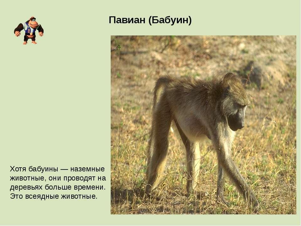 Павиан (Бабуин) Хотя бабуины — наземные животные, они проводят на деревьях бо...