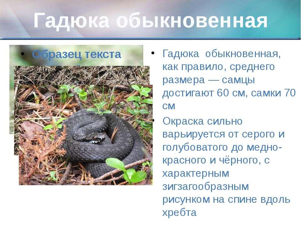Гадюка обыкновенная Гадюка обыкновенная, как правило, среднего размера — самц...
