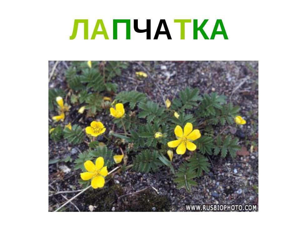ЛАПЧАТКА