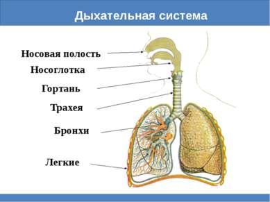 Дыхательная система Носоглотка Носовая полость Гортань Трахея Бронхи Легкие