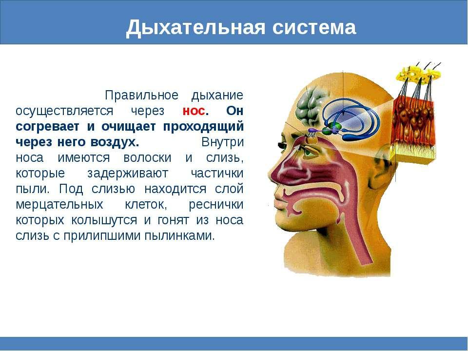 Дыхательная система Правильное дыхание осуществляется через нос. Он согревает...