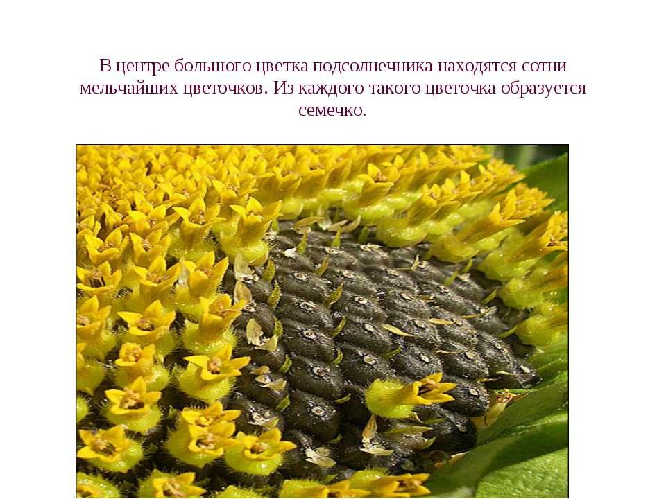 В центре большого цветка подсолнечника находятся сотни мельчайших цветочков. ...