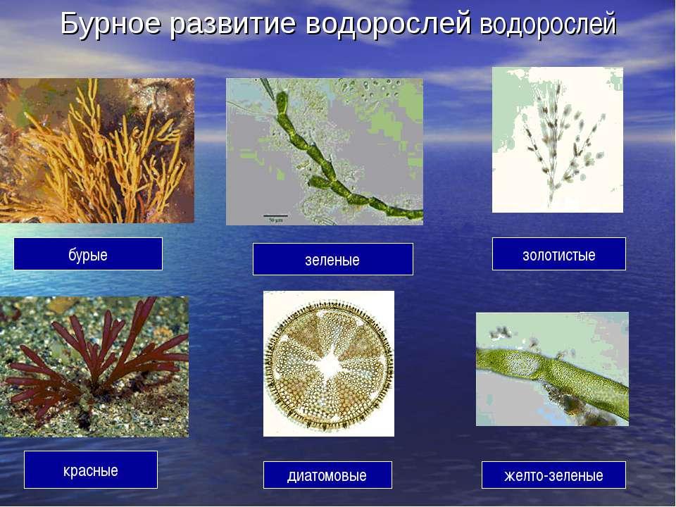 Бурное развитие водорослей водорослей бурые зеленые золотистые красные диатом...