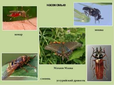 насекомые комар мошка слепень уссурийский дровосек Махаон Маака