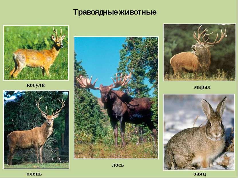 Травоядные животные косуля лось заяц марал олень